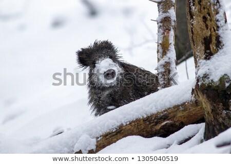 Verraco ocultación detrás árbol temporada de invierno Foto stock © taviphoto