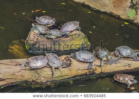 Westerse vijver schildpadden genieten zon Hong Kong Stockfoto © galitskaya