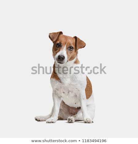 Portrait adorable jack russell terrier isolé noir Photo stock © vauvau