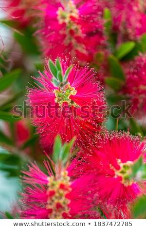 kırmızı · kırmızı · çiçekler · yeşil · yeşillik · yerli · kır · çiçeği - stok fotoğraf © imagecom