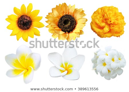Isolated single yellow Leelawadee flower Stock photo © Ansonstock
