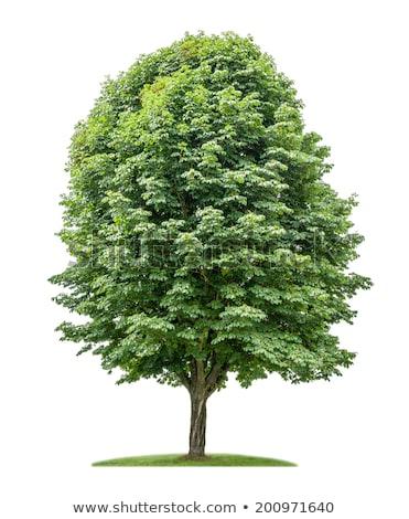 каштан дерево Кора текстуры древесины лес Сток-фото © Rob_Stark