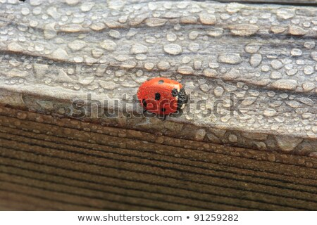 Dew Covered Ladybug on Wood stock photo © mackflix