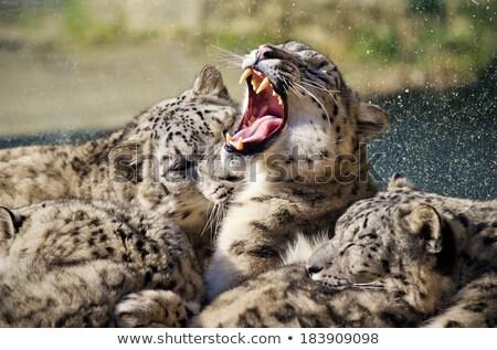 lying and sleeping Snow Leopard Irbis (Panthera uncia) Stock photo © artush