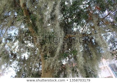 plant · bessen · achtergrond · groene · geneeskunde · bladeren - stockfoto © stevanovicigor