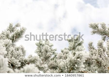 fagyott · ág · hideg · nap · napos · idő · tél - stock fotó © ElinaManninen