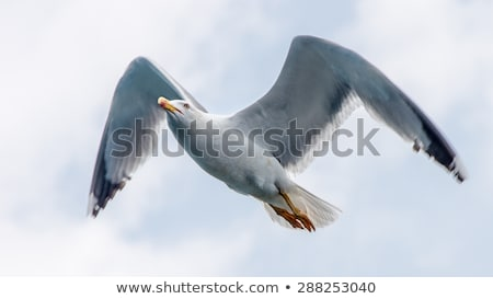 lone seagull in flight stock photo © mikecharles