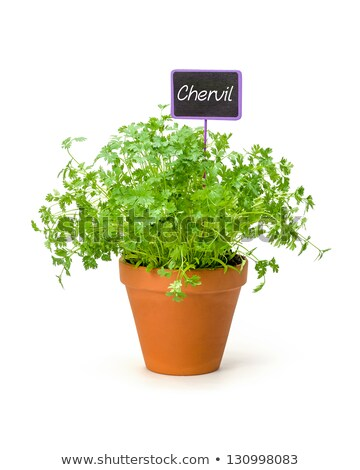Chervil in a clay pot with a wooden label Stock photo © Zerbor