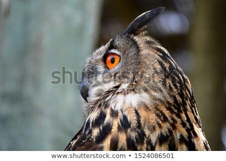 Coruja laranja olhos grande olhando câmera Foto stock © compuinfoto