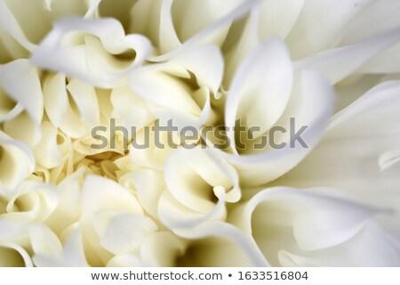 белый георгин цветок изолированный выстрел Сток-фото © stocker