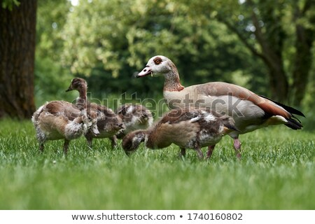 Chick of an Egyptian Goose (Alopochen aegyptiacus) Stock photo © dirkr