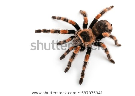 mexican red knee tarantula stock photo © kirill_m