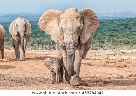 Fil doğa dizayn arka plan sanat siluet Stok fotoğraf © gladiolus