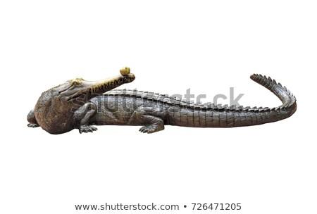 gavial isolated Stock photo © anan