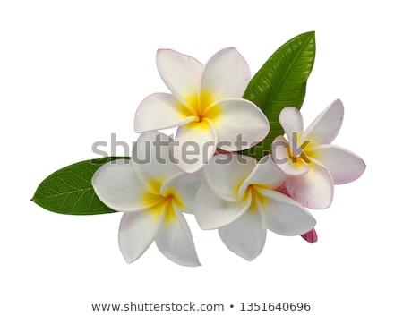 lan · flor · belo · laranja · Tailândia · flores - foto stock © nuiiko