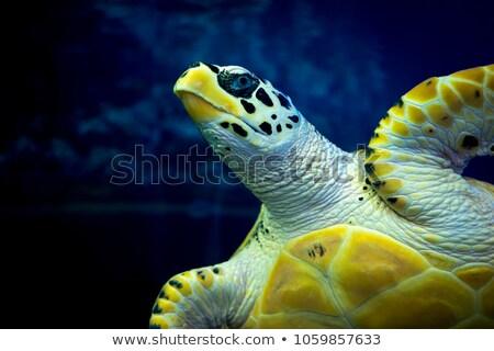 Közelkép teknősbéka akvárium víz kő kő Stock fotó © bmonteny