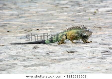 Green Iguanas in a city park Stock photo © wildnerdpix