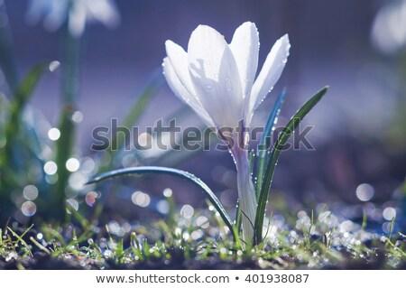 Branco primavera jardim flores verde planta Foto stock © pixelman