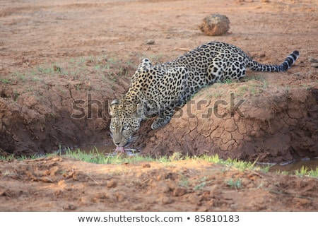 Leopard at a waterhole in the Kruger National Park Stock photo © simoneeman