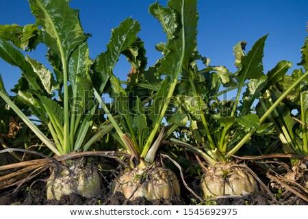 sugar beet in the ground stock photo © stevanovicigor