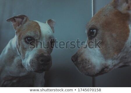 Stock photo: old pitbull in studio