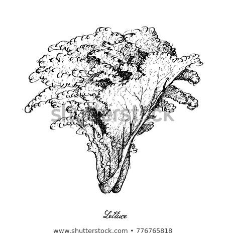 Lettuce, salad illustration, drawing, engraving, line art, vegetable, vector stock photo © JenesesImre