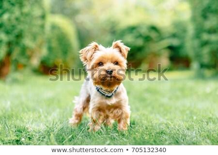 Yorkshire terriër puppies vergadering witte Stockfoto © tobkatrina