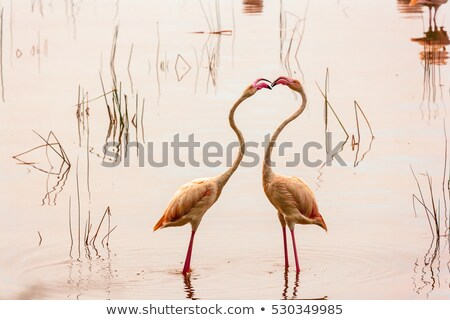 dance love flamingos Stock photo © adrenalina