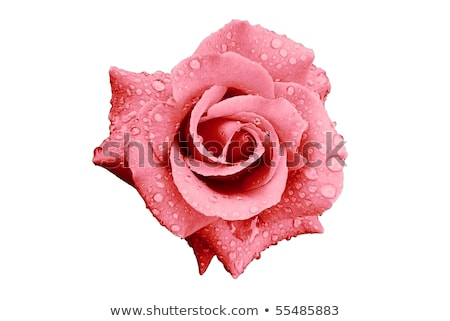 Rosa rosebud branco flor natureza romance Foto stock © IS2