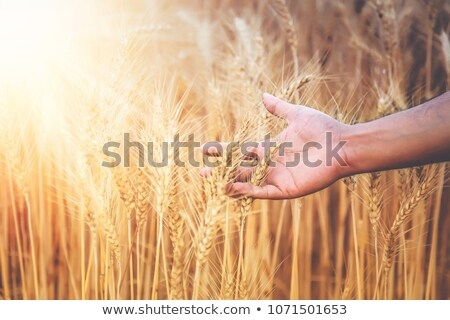 Hand of a man caressing the wheat field Stock photo © IS2