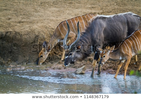 africa nyala on safari stock photo © compuinfoto