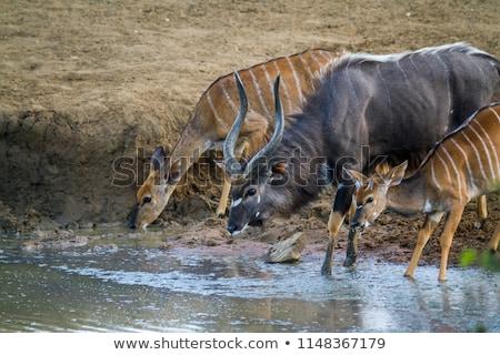 Afrika szafari Dél-Afrika természet park sétál Stock fotó © compuinfoto