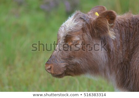 Kyloe Highland Cattle with Calf Stock photo © davidgn