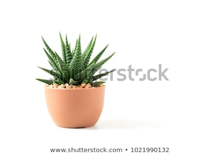 Growth of aloe vera in the flowerpot isolated on white background stock photo © myfh88