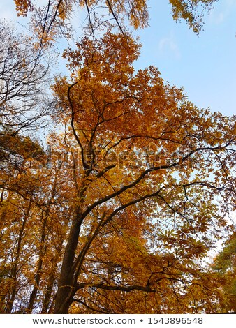 autumn beech tree leaves stormy cloud blue sky Stock photo © lunamarina