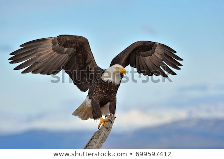 Bird Bald Eagle Branch Stock photo © lenm