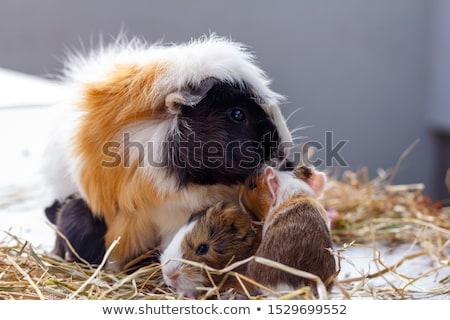 ストックフォト: 赤ちゃん · モルモット · 背景 · 赤 · 豚 · 面白い