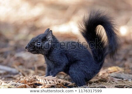 Color morphed Eastern Gray Squirrel details. Stock photo © yhelfman