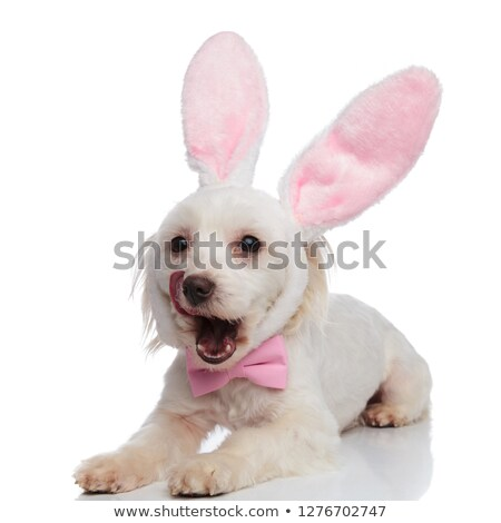 hungry gentleman bichon with easter bunny ears looks to side Stock photo © feedough