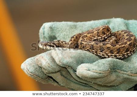 Rzadki łące charakter węża głowie skali Zdjęcia stock © taviphoto