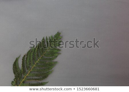closeup of a branch of fern on a gray background with copy space natural foliage layout flat lay stock photo © artjazz