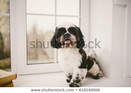 cute black and white shih tzu sitting Stock photo © feedough