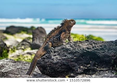 galapagos iguana heating itself in the sun resting on rock on tortuga bay beach stock photo © maridav