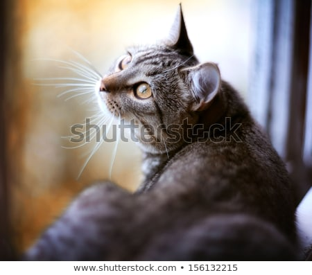 grey cat sits on the windowsill in winter Stock photo © raduga21