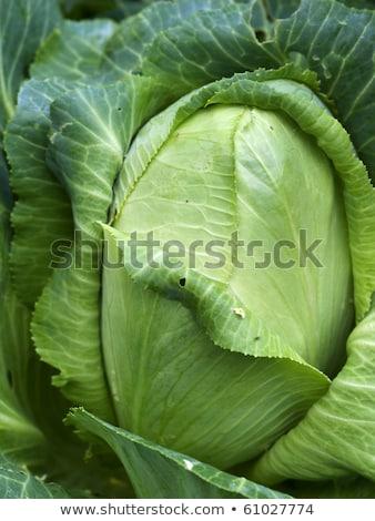 Organik bahçıvanlık lahana sebze tatlı gıda Stok fotoğraf © sherjaca
