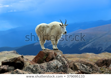 горные коза утес Сток-фото © photoblueice