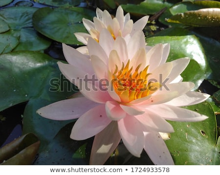 sacré · Lotus · jardin · eau · design - photo stock © sahua