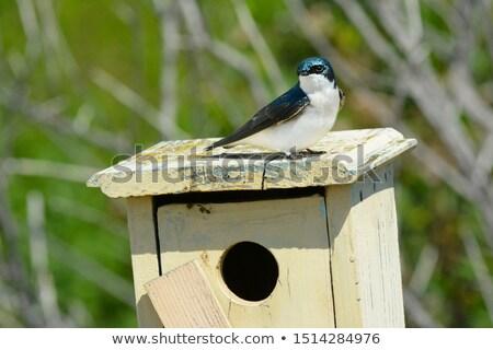 Tree Swallows (Iridoprocne bicolor) Stock photo © brm1949