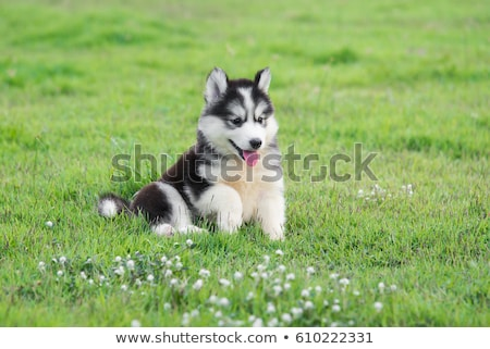 Husky · щенков · месяцев · старые · собака · зима - Сток-фото © silense