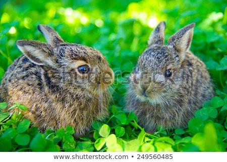 European Hares in Love Stock photo © chrisroll